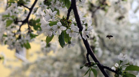 White cherry blossom. S on a branch Royalty Free Stock Photos