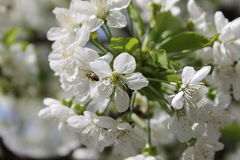 White cherry blossom. S on a branch Stock Image