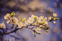 White cherry blossom and blue sky in spring garden Stock Photos