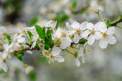 White cherry Stock Image
