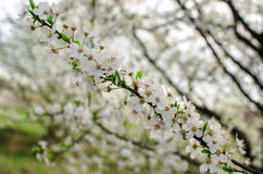White cherry Royalty Free Stock Photography