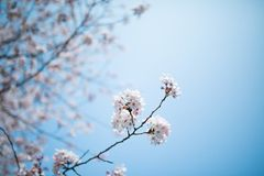 White Cherry Blossom. Branch of white cherry blossom under the blue sky Royalty Free Stock Images