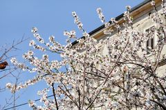 White cherry blossom and building in background/ Flowering fruit trees / Blossoming apricot against the blue sky. Stock Photography