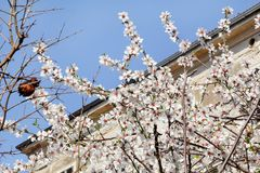 White cherry blossom and building in background/ Flowering fruit trees / Blossoming apricot against the blue sky. Stock Photos
