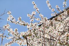 White cherry blossom and building in background/ Flowering fruit trees / Blossoming apricot against the blue sky. Royalty Free Stock Image
