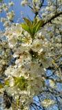 White cherry blossom Stock Images