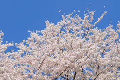 White cherry blossom, clear blue sky Stock Image