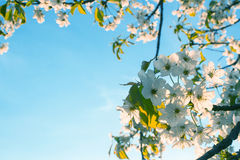 White cherry blossom on a clear sky background Stock Images