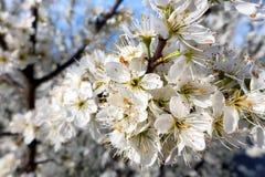 White cherry blossom Stock Image