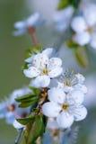 White Cherry blossom Royalty Free Stock Image