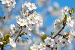 White Cherry blossom Stock Photos