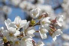 White cherry blossom. Delicate white cherry blossom flowers in bloom Royalty Free Stock Images