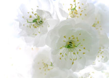 White cherry blossom flower isolated Stock Photos