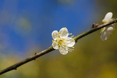 White cherry blossom Royalty Free Stock Photography
