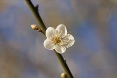 White cherry blossom Royalty Free Stock Photos