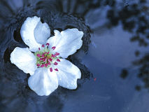 White cherry blossom. Flower on the river Stock Images