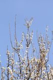 White cherry blossom / Flowering fruit trees / Blossoming apricot against the blue sky / Almond flowers. Royalty Free Stock Photos