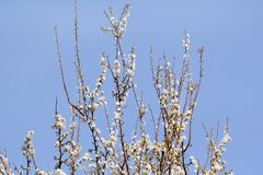 White cherry blossom / Flowering fruit trees / Blossoming apricot against the blue sky / Almond flowers. Stock Photography