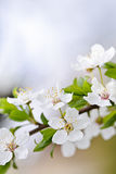 White cherry blossom flowers Stock Image