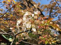 White Cherry Blossom Flowers in Japan royalty free stock images