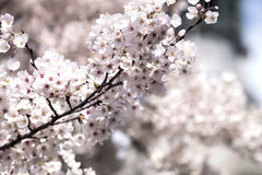 White cherry blossom flowers in the spring. White cherry blossom flowers in the beautiful spring day against Church Royalty Free Stock Images