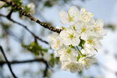 White cherry blossom Royalty Free Stock Image