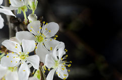 White cherry blossom macro Stock Images