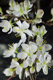 White cherry blossom macro Stock Photography