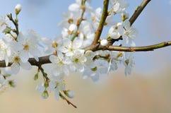 White cherry blossom macro. Macro of white cherry blossom Stock Photo