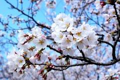 White cherry blossom royalty free stock photo