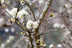 White cherry blossom sakura Royalty Free Stock Images