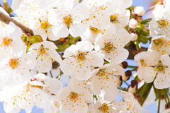 White cherry blossom in spring Stock Image