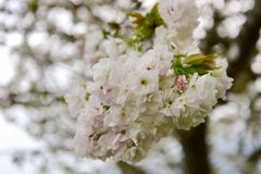 White cherry blossom during spring Stock Image