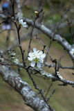 White cherry blossom Royalty Free Stock Photo
