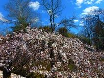 White Cherry Blossom Against Blue Sky. White cherry blossom tree against a bright blue sky in spring, 2018; Cohanzick Zoo, Bridgeton, New Jersey Royalty Free Stock Images