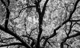 White Cherry blossom Tree. In black and white Stock Photography
