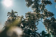 White Cherry Blossom Tree in Bloom at Daytime royalty free stock images