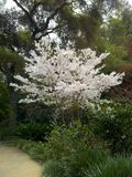 White cherry blossom tree in bloom Royalty Free Stock Photography