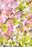 White cherry blossom tree Royalty Free Stock Image