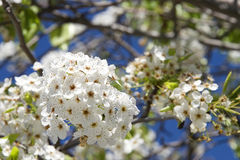 White Cherry Blossom tree flower clusters. Many of the varieties that have been cultivated for ornamental use do not produce fruit Stock Image