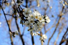 White cherry blossom tree in Spring time. With a blue sky behind Royalty Free Stock Photos