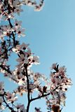 White cherry blossom tree in Spring time. With a blue sky behind Stock Photography