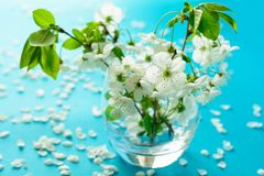 White cherry blossom twigs in glass vase on blue paper background. Copy space. Selective focus.  royalty free stock photography