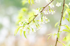 White cherry blossom Stock Photos