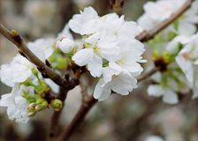 White Cherry Blossoms Royalty Free Stock Images
