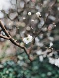 White Cherry Blossoms royalty free stock photos