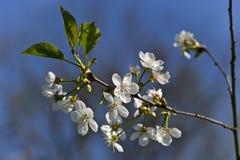 White Cherry blossoms. Jurmala, Latvia stock photo