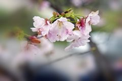 White cherry blossoms Stock Photo