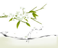 White cherry blossoms. Branch with white cherry blossoms with a stream of water.  Vector format available Royalty Free Stock Images