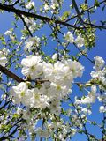 White cherry blossoms against a blue sky royalty free stock photography